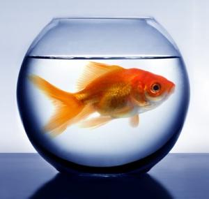 big-fish-small-pond-shutterstock-8451121-big-fish-small-pond-20151229064458-56822bea09d05